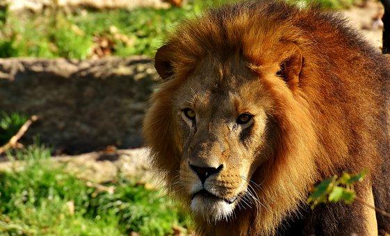 lion-3128291__340.jpg