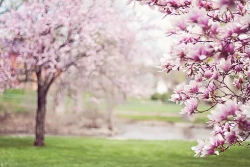 magnolia-trees-556718__340.jpg