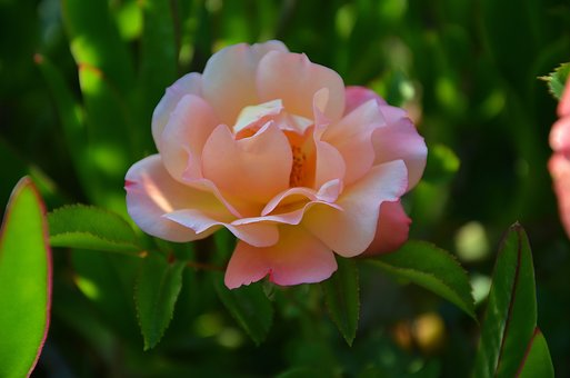 rose-3409338__340.jpg